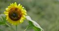 sunflower, sunflowers, vegetation 80383969