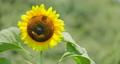 sunflower, sunflowers, vegetation 80383970