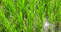 paddy, rice plant, foliage 80383971