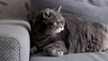 fat British cat sleeps on the sofa and looks 80416473