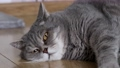 fat British cat is lying on the floor and peeping 80416476