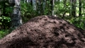 huge anthill in the summer forest 80416489