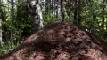 huge anthill in the summer forest 80416490