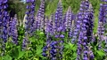 beautiful lupin flowers grow in the forest thicket 80416491