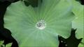 ハスの葉の上の水滴と、茎から出てくる空気の泡 80664020