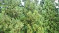 Maiko Snow Resort in Summer, Dancing Conifers 80833146