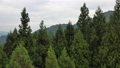 Aerial view of coniferous trees with a drone, feel the wind 80836485