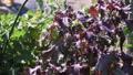Perilla leaves grown in the vegetable garden 80854534