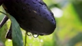 Water droplets dripping from eggplants grown in the vegetable garden 80854535