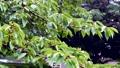 シトシトと降る雨に打たれる木と枝と葉っぱ 81096780