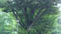 突然の激しい雨に濡れる緑の木々 81096782