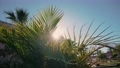 Rays of evening sun above arabian house through leaves and branches of green palm in warm day 81206026