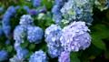 繡球花雨季形象 81304185