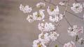 桜 スローモーション 春イメージ  81451722