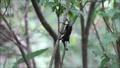 細い枝を下るカブトムシの雄 81468288