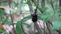 細い木を登るカブトムシのオス 81468289