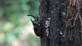ゆっくり木を登るカブトムシ 81468292