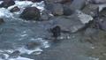 河口で鮭を捕まえようと待つヒグマ@知床、北海道 81518473