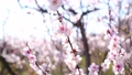 first trees to bloom early spring, cherry trees in blossom in an urban park 81741207