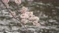 桜 春イメージ  81768305