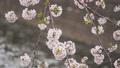 桜 春イメージ  81768306