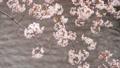 桜 春イメージ  81768307