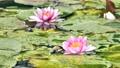 雨と池に咲く睡蓮の花 雨降り 雫 しずく 水滴 スローモーション スロー50% 北海道 夏 8月 81945291