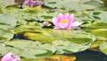 雨と池に咲く睡蓮の花 雨降り 波紋 水滴 しずく スローモーション スロー50% 北海道 夏 8月 81945293
