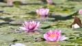 雨と池に咲く睡蓮の花 雨降り 波紋 水滴 しずく スローモーション スロー50% 北海道 夏 8月 81945294