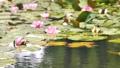 雨と池に咲く睡蓮の花 手前にフォーカス合わせ 雨降り 水滴 しずく スロー50% 北海道 夏 8月 81945295