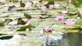 雨と池に咲く睡蓮の花 雨降り 波紋 水滴 しずく スローモーション スロー50% 北海道 夏 8月 81945297