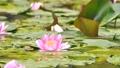 雨と池に咲く睡蓮の花 雨降り 波紋 水滴 しずく スローモーション スロー50% 北海道 夏 8月 81945300