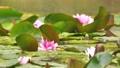 雨と池に咲く睡蓮の花 雨降り 波紋 水滴 しずく スローモーション スロー25% 北海道 夏 8月 81945302