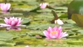 雨と池に咲く睡蓮の花 雨降り 波紋 水滴 しずく スローモーション スロー50% 北海道 夏 8月 81945303