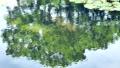 水面の緑の映り 睡蓮の葉 北海道 夏 8月 81961279