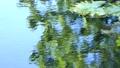 水面の緑の映り 睡蓮の葉 北海道 夏 8月 81961280