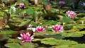 池に咲く睡蓮の花 北海道 夏 8月 81961281