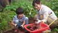 サツマイモを収穫する親子 81986990
