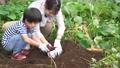 サツマイモを収穫する親子 81987410