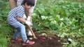 サツマイモを収穫する親子 81987411