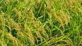 秋の稲 82115568