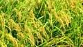 秋の稲 82115570