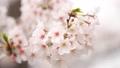 桜 春イメージ 82222255