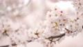 桜 春イメージ 82241516