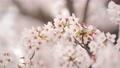 桜 春イメージ 82241519