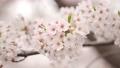 桜 春イメージ 82241520