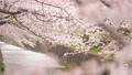 桜 春イメージ  82241522