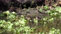 Purple Gallinule with its chicks in Florida swamp. 82648383