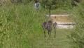 Sandhill crane family walking in Florida park 82648384