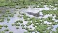 Large alligator fishing in Florida pond 82648387